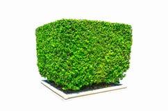 设计树篱砍在白色背景在方形的形状的绿色树隔绝的 图库摄影