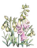 设计花卉查出的水彩白色 图库摄影