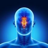 词根在男性脑子零件解剖学方面 库存图片