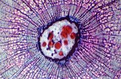 词根木本植物的横断面在显微镜下 图库摄影