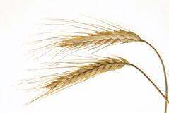 词根麦子 库存图片
