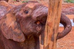 试图非洲大象的小牛推挤在树 免版税库存照片