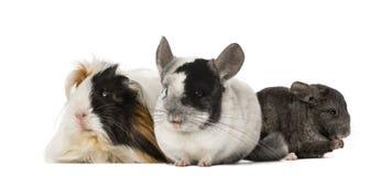 试验品和黄鼠 免版税库存照片