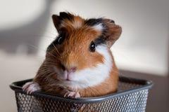 试验品豚鼠属porcellus 库存图片