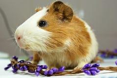 试验品豚鼠 库存照片