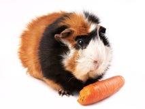 试验品,玫瑰华饰豚鼠属porcellus 免版税图库摄影