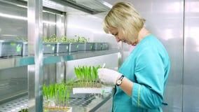 试验室工怍人员在实验室回顾在土壤的生长年轻绿色新芽,在小盒子,在特别房间架子, 股票视频