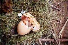 诞生小鸡黄色 库存照片