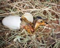 诞生鸭子黄色 免版税图库摄影