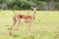 诞生1 -林羚-非洲羚羊类angasii 库存照片