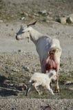 诞生celtiberian山羊孩子 库存图片