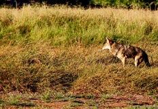 诡计多端的土狼 免版税库存图片