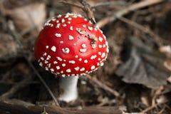 详细伞菌蘑菇与白色小点 免版税库存照片