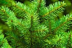 详细的圣诞树分支背景 免版税库存图片