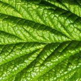 详细的看法、一片深绿叶子的宏观看法有光滑的表面的和醒目的叶子静脉 库存照片