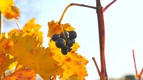 详细的观点的冷冻葡萄树在一个葡萄园里在秋天 藤葡萄在收获前的葡萄酒秋天,成熟 影视素材
