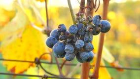 详细的观点的冷冻葡萄树在一个葡萄园里在秋天 藤葡萄在收获前的葡萄酒秋天,成熟 股票视频