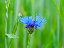 详细的观点的蓝色矢车菊,矢车菊cyanus,在春天绿色领域背景bokeh 库存照片