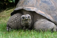 详细资料巨型草龟 库存图片