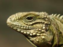 详细资料爬行动物 免版税库存照片