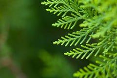 详细资料结构树xmas 免版税图库摄影