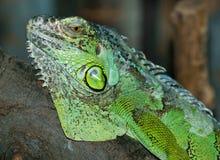 详细资料绿色鬣鳞蜥 免版税库存照片