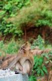 2009详细资料行军猴子本质照片采取的观点 库存照片