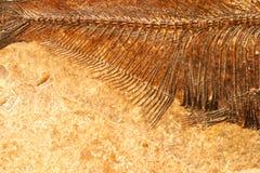 详细资料鱼化石 图库摄影