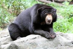 详细资料malayanus熊属类 库存图片