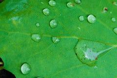 详述叶子和水滴的射击 免版税库存照片