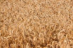 详述域麦子 免版税图库摄影