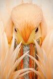 详述橙色和桃红色鸟鹈鹕画象与羽毛的在票据 免版税图库摄影