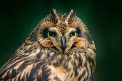 详述猫头鹰,固定的眼睛顶头画象  短耳朵的猫头鹰,澳大利亚安全情报组织flammeus,坐云杉的树 鸟在栖所, beautifu 库存图片