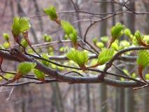 详述的od生长在春天的小绿色叶子 免版税库存图片
