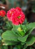 详述红色大丽花花,秀丽照片本质上 库存照片