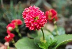 详述红色大丽花花,自然场面照片  库存图片