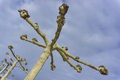 详述美国梧桐树,不用在蓝天背景的叶子 免版税库存图片