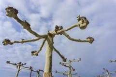 详述美国梧桐树,不用在蓝天背景的叶子 图库摄影