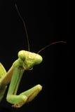 详述螳螂祈祷 免版税图库摄影