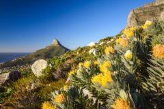 详述黄色针垫Leucospermum花看法在Kasteelspoort供徒步旅行的小道在桌山国家公园,开普敦 免版税库存照片