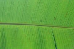 详细大绿色叶子纹理 免版税图库摄影