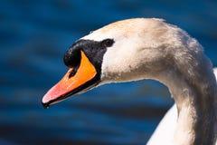 详细的天鹅的面孔 库存图片