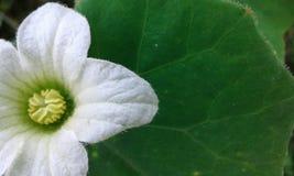 详细的美丽的白花 库存图片