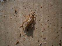 详细的蟋蟀/Grig 免版税图库摄影