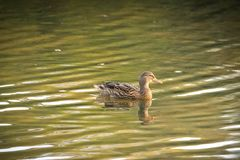 语录喇叭鹊类,女性野鸭鸭子游泳在Ryton水池湖水,英国中 库存图片