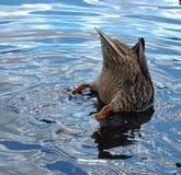 语录鸭子狩猎platyrhynchos 免版税图库摄影