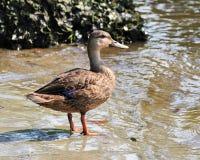 语录鸭子fulvigula呈了杂色 图库摄影