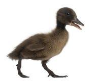 语录黑鸭通配野鸭的platyrhynchos 库存照片