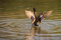 语录platyrhynchos,在发辫在Ryton水池,英国之间的孤零零男性野鸭鸭子游泳 库存图片