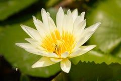 诱使昆虫下来莲花的白莲教开花和水 T 图库摄影